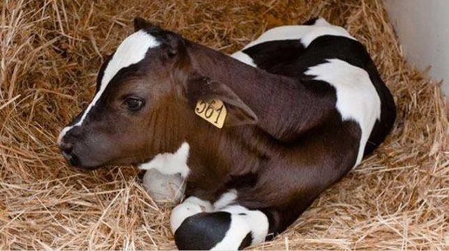 Пппииррсм бычки теленок телки каровы урхаши еркек матки