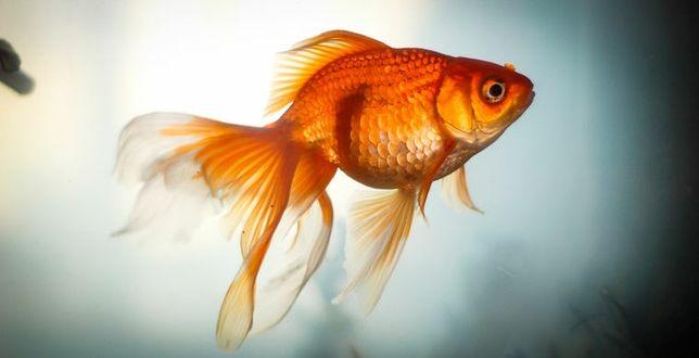 Золотые рыбки местного разведения