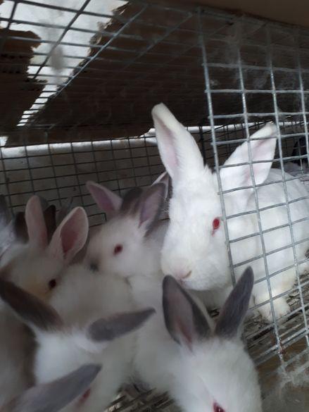 Заек зайци Калифорнийски Новозеландски