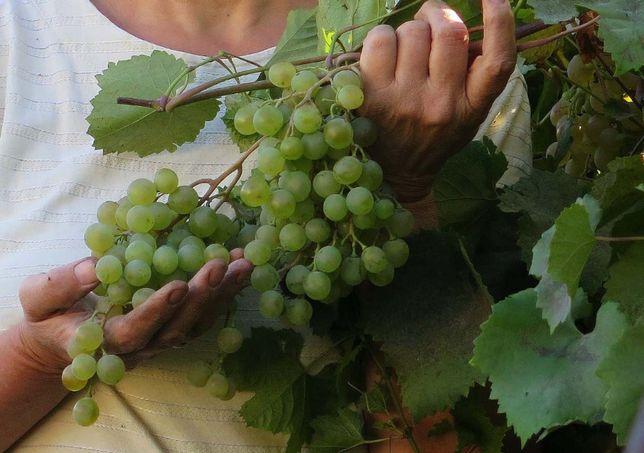 Отличные саженцы винограда