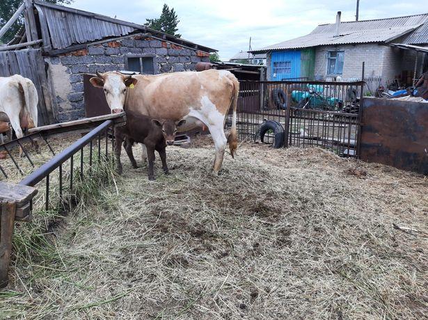 Продам первотелку с теленком