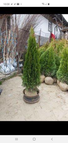 Plante ornamentale gazon etc