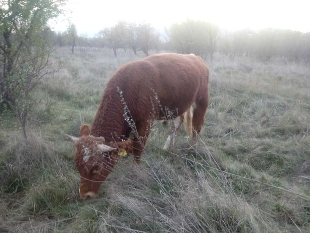 De vanzare vitei diferite greutati de rasa buni pentru monta