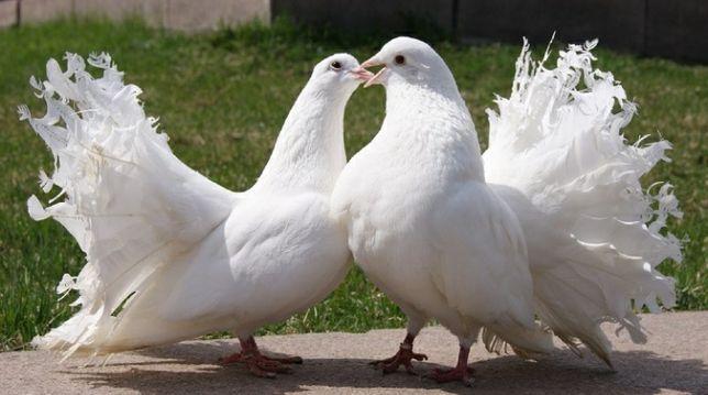 Голуби павлины белые