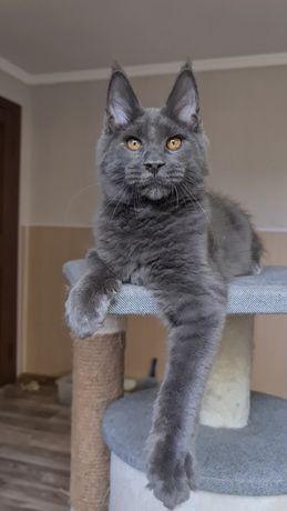 Котик мейн-кун Сапфир
