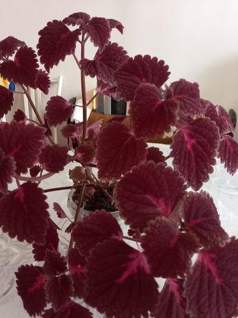 Продам очень красивый комнатный цветок  КОЛЕУС