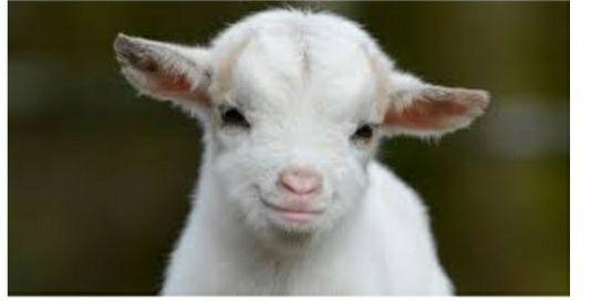 Продам коз и коз с козлятами с Уральска в городе Актау