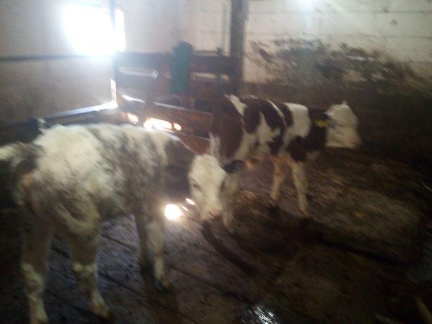 Vând 4 vitei 3 tăurași și o vitea