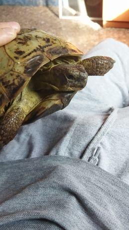 Черепаха бесплатно