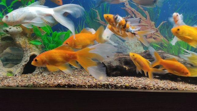 Золотая рыбка Комета