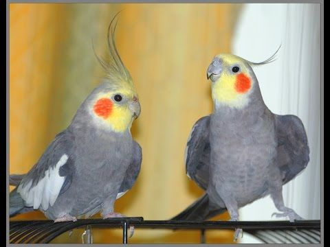 Попугаи кореллы в Живом Мире