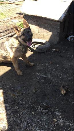 Продаю щенка немецкой овчарки