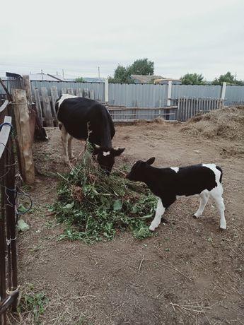 Продам корову с телёнком на подсосе