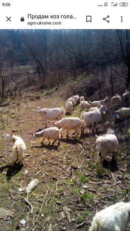 Продам козы срочно Распродажа