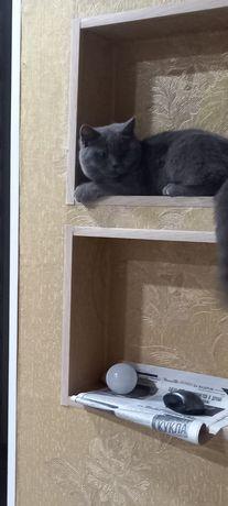 Продам котика британца