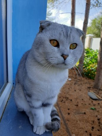 Кот на вязку. Вислоухий шотландец ждёт кошечку на вязку
