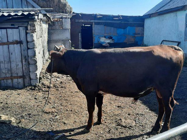 Продаю быка и телят цена договорная