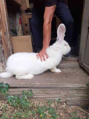 Продам кролика бельгийский великан( фландер)