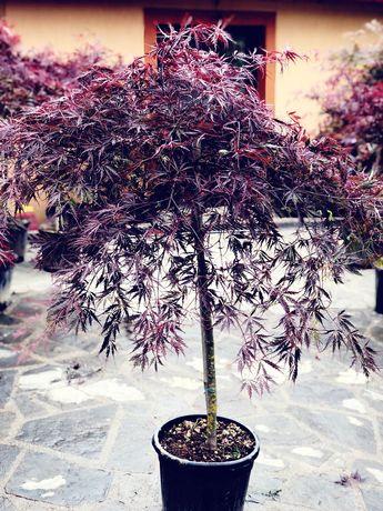 Artar Japonez, pon pon, pinus mugo, palmier, alun rosu, ienupar