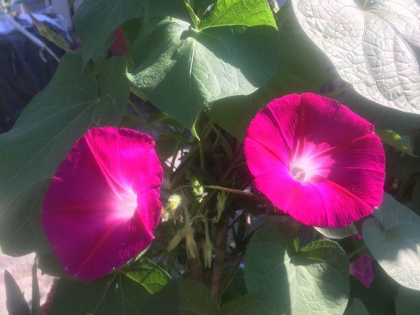 Vand ZORELE sau seminte roz - mov sau schimb cu alte culori.