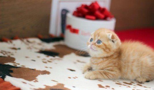 Рыжие Шотландские котята