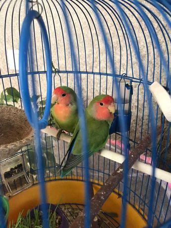 Попугаи неразлучники, 2 птицы 15.000 TENGE с клеткой