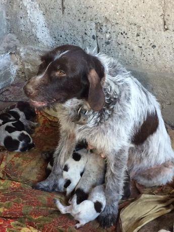 Продам щенят дратхар
