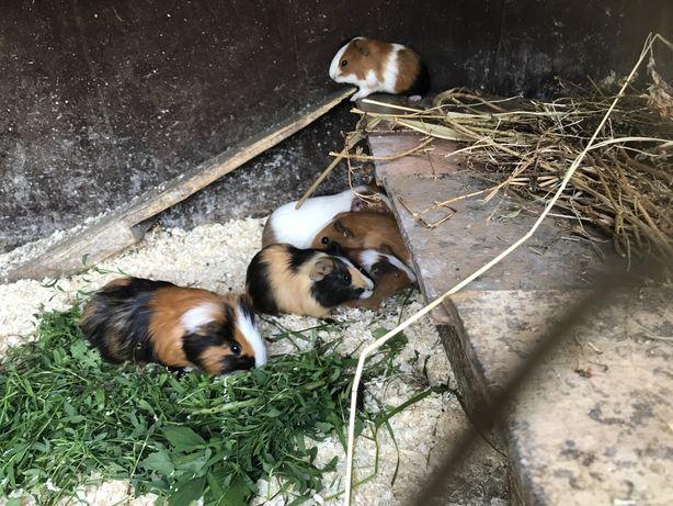 Vând porcușori de Guineea