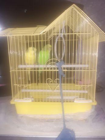 дамашное папугаи
