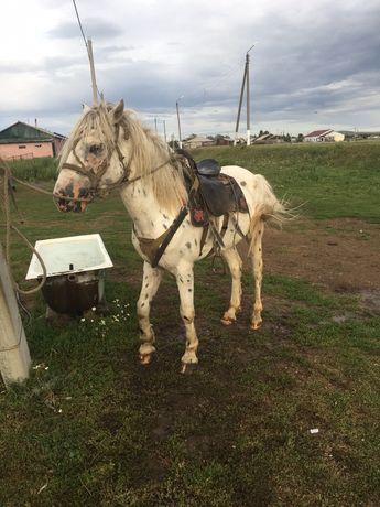 Продам лошадеи шубарой масти