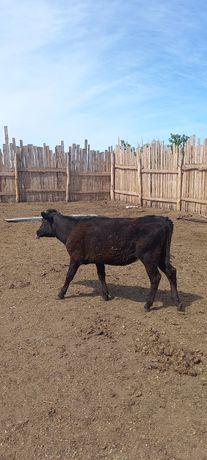 Продам тёлочку больше года,от молочной коровы