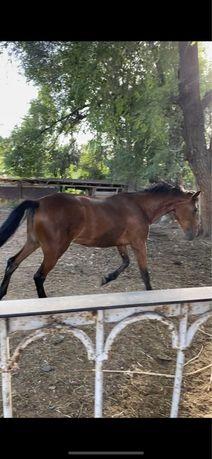 Лошадь кабылка иноходка 2 года