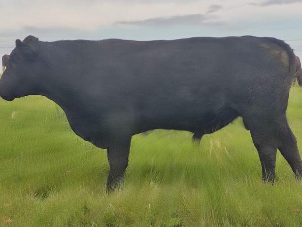 Продам быка Ангус 2,5 года