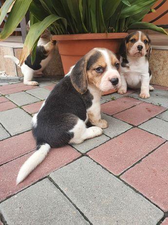 Vand catei beagle