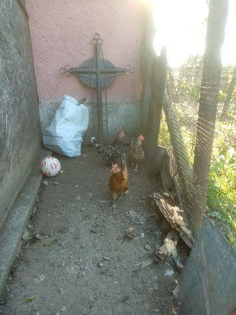 Vând găini liliputi
