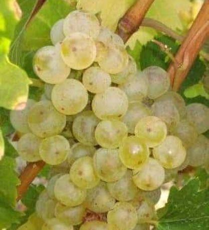 Struguri de vin 999