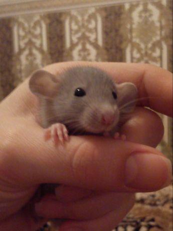 Отдам крысят и их маму
