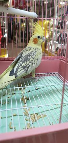 Кореллы попугаи продаются