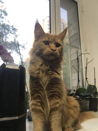 Кошка мейн-кун для вязки