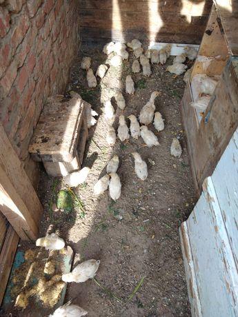 Адлерская серебристая таза канды 25шт 1.5 айлық Срочно