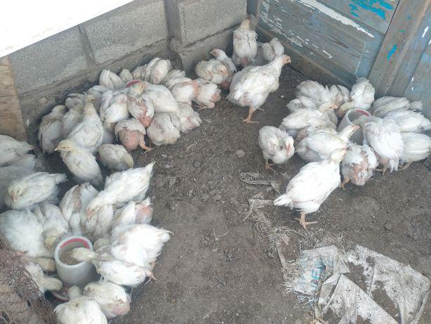 Цыплята Бройлера месячные , есть доставка!