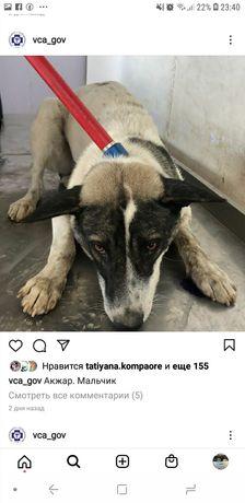 Собаки из Акжара в отлове