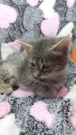 Дарю котенка девочку