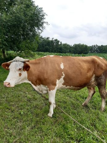 Vând vacă bălțată românească