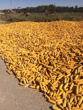 Кукуруз кормовой