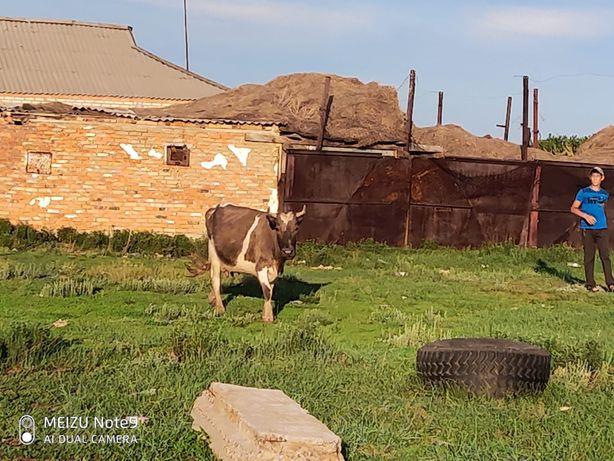 Продам коров оптом или в розницу,хорошие на племя. продам также телят