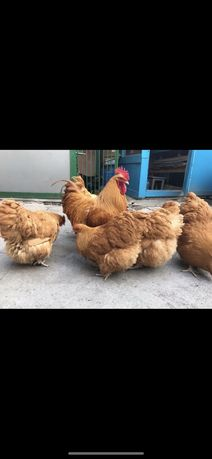 Орпингтон палевый инкубационные яйца