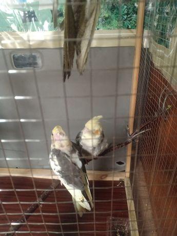 Продам попугаев Корела.