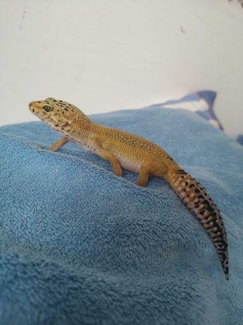Gecko leopard 1 an