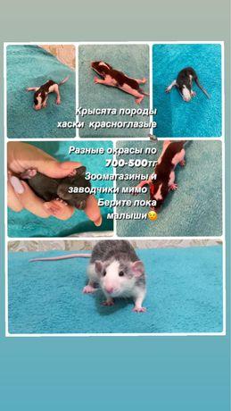 Крысята ищут добрые руки